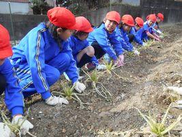 小学校 大根収穫(30.2)2